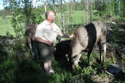 Moosing Around in Sweden