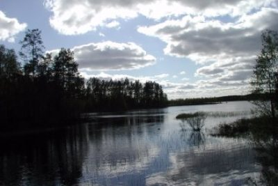 Rare Swans In Finland National Forest